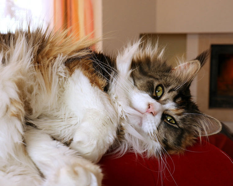 maine coon having a thick fur