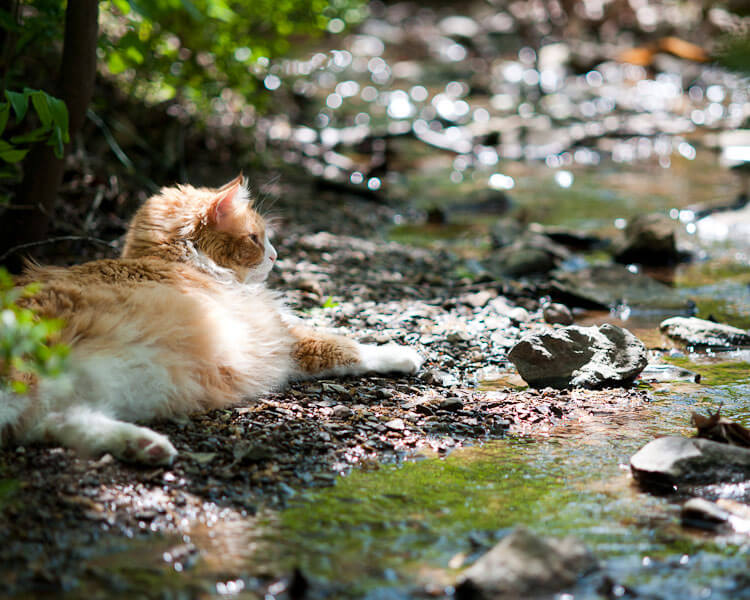 a maine coon near a water stream