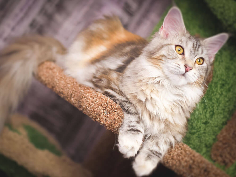 maine coon cats as good family pets