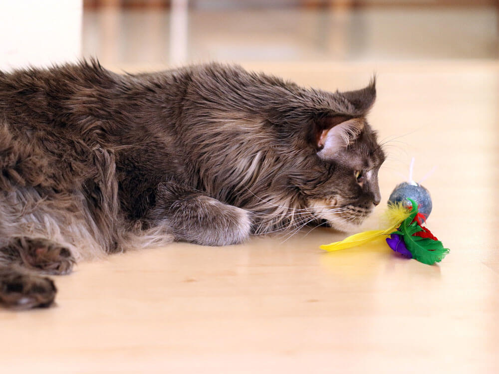 maine coon cat playing its toy
