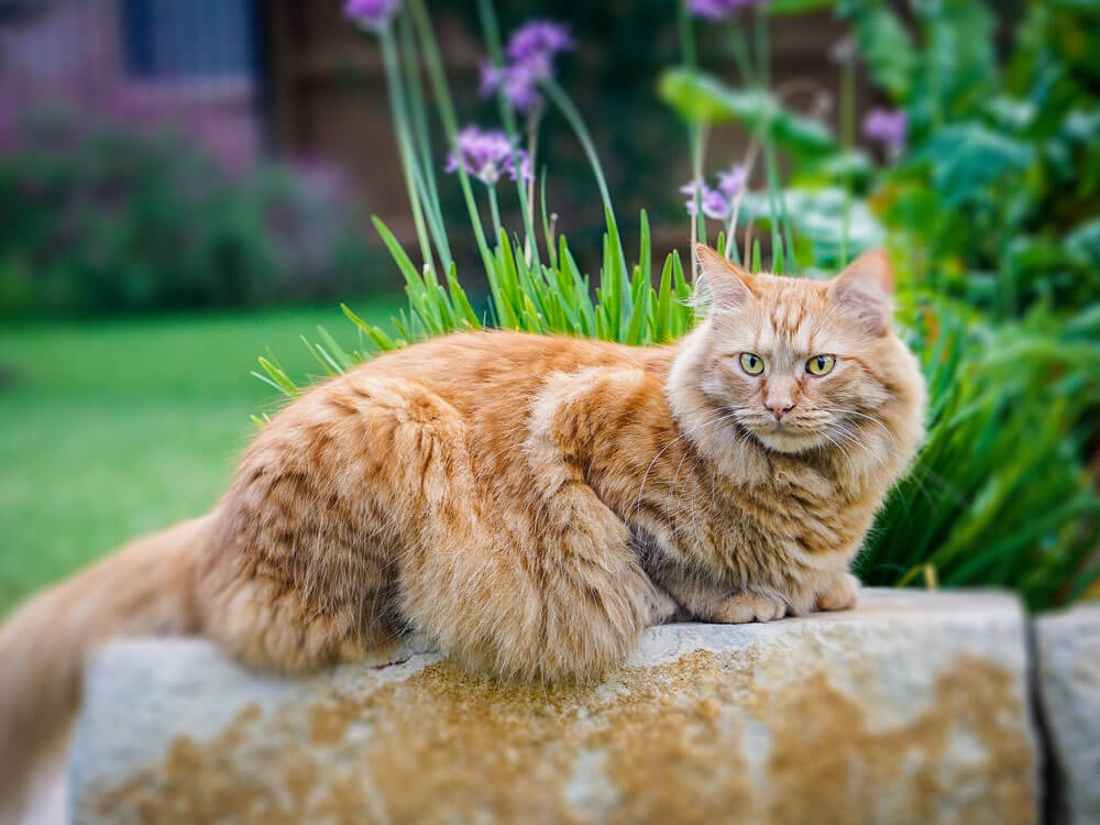 Maine Coon Care and Training