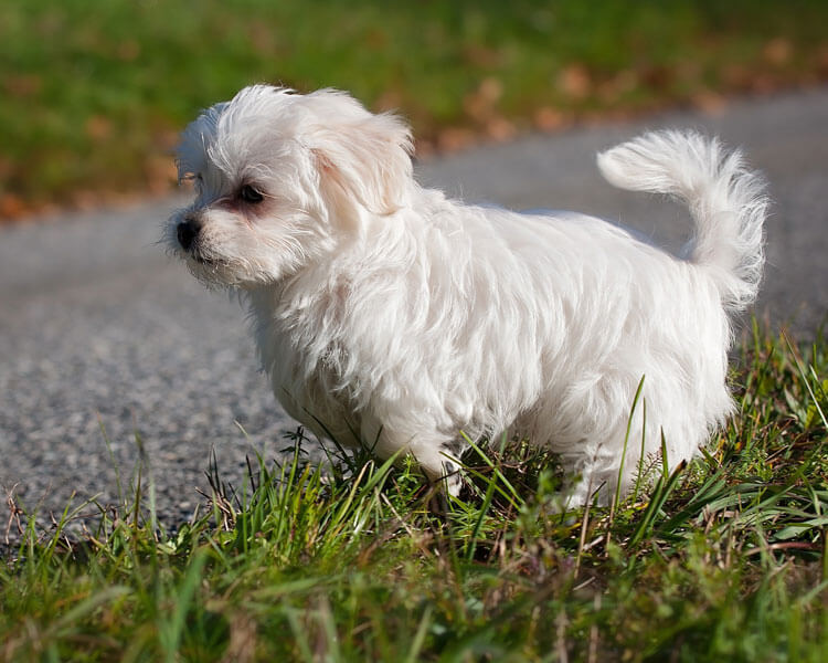 maltese, one of the most popular hypoallergenic dog breed