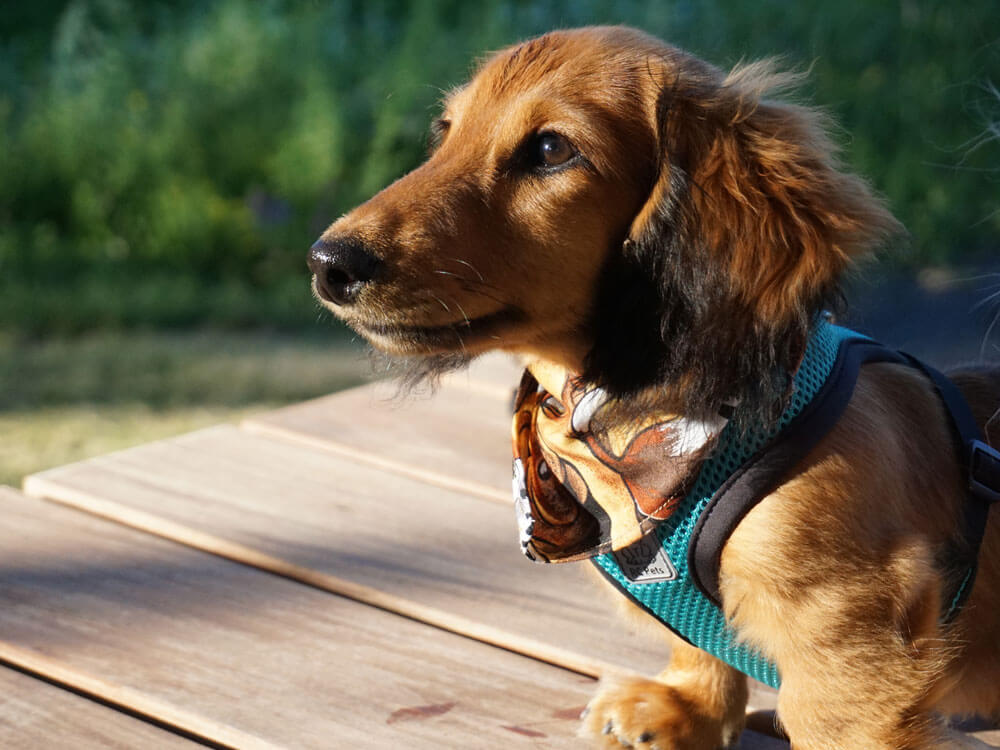 Miniature Dachshund Common Health Issues