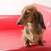 Training Tips for Mini Dachshund Owners