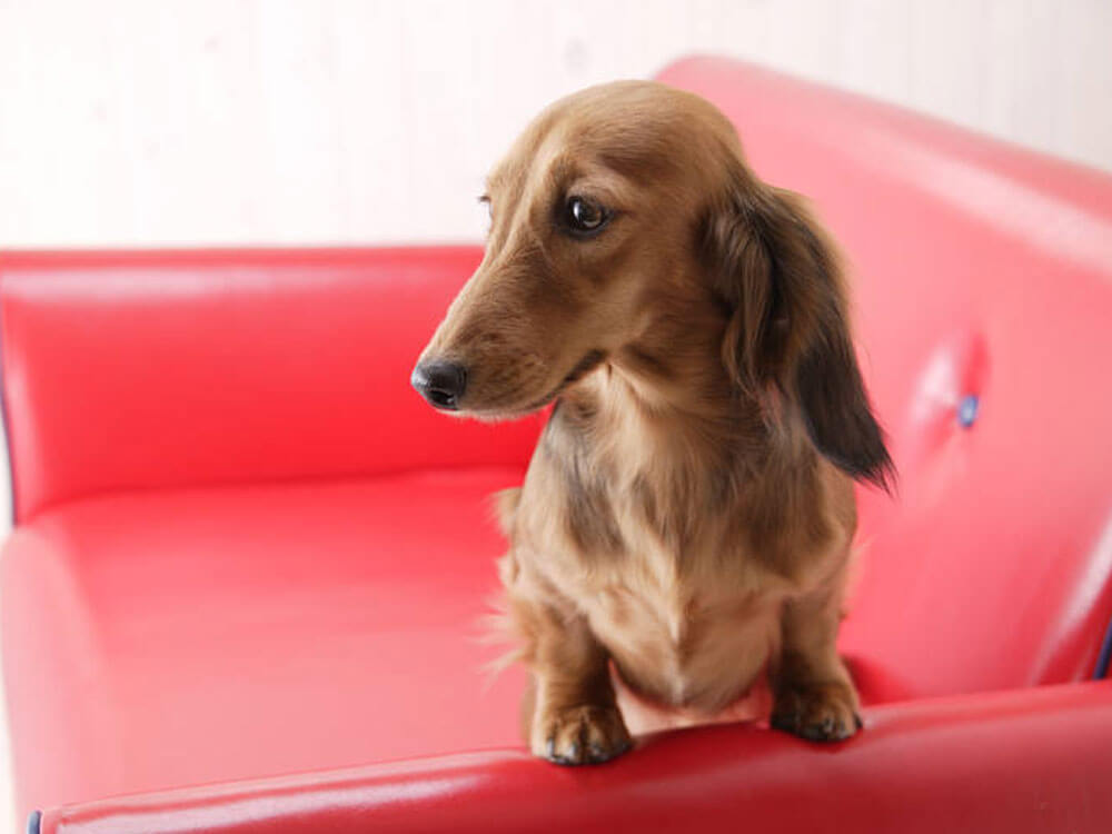 Training Tips for Miniature Dachshund Owners