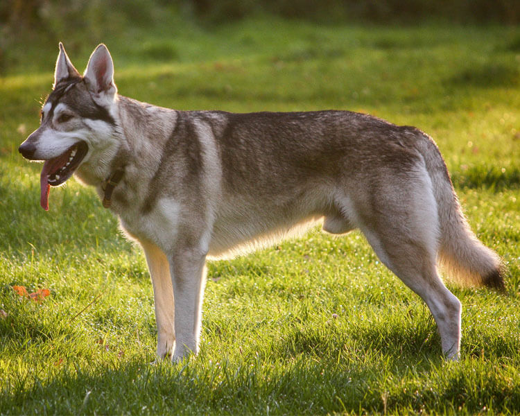 a northern inuit dog walking in the grass field