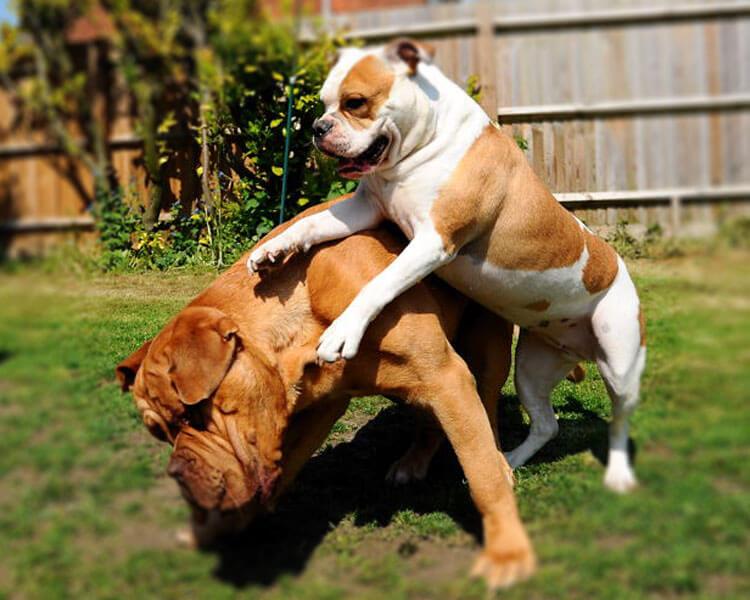 old tyme bulldog and mastiff playing