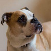 Do Old Tyme Bulldog Make Good Family Pets?