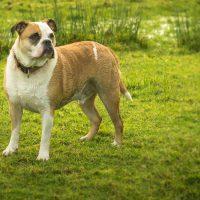 Old Tyme Bulldog Caring Guide