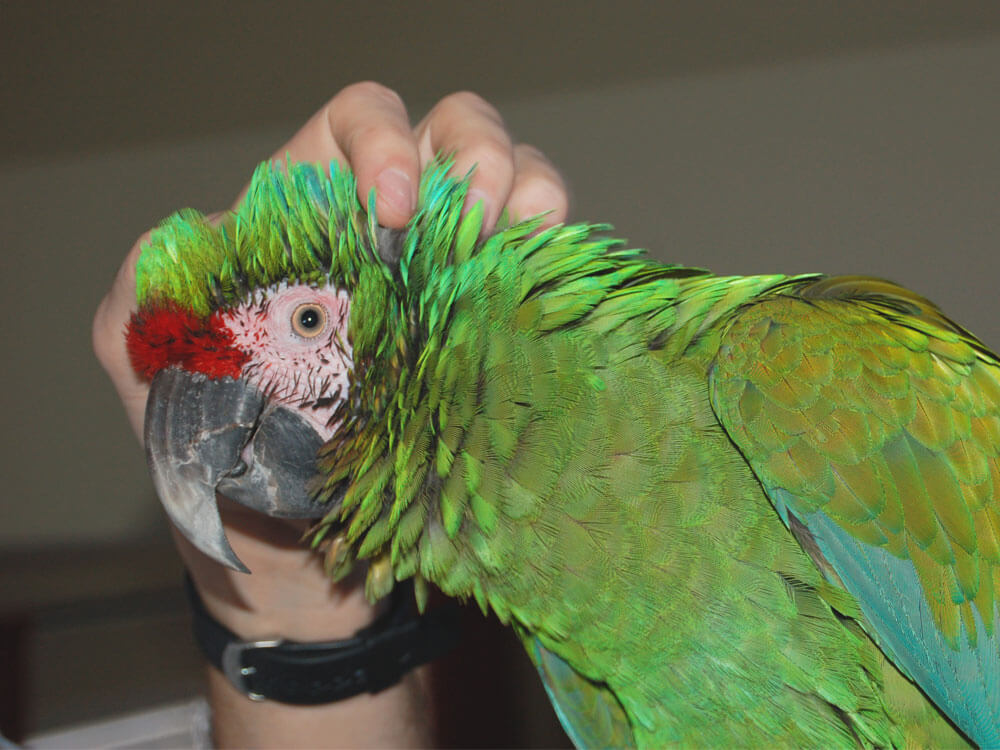 an owner petting a parrot