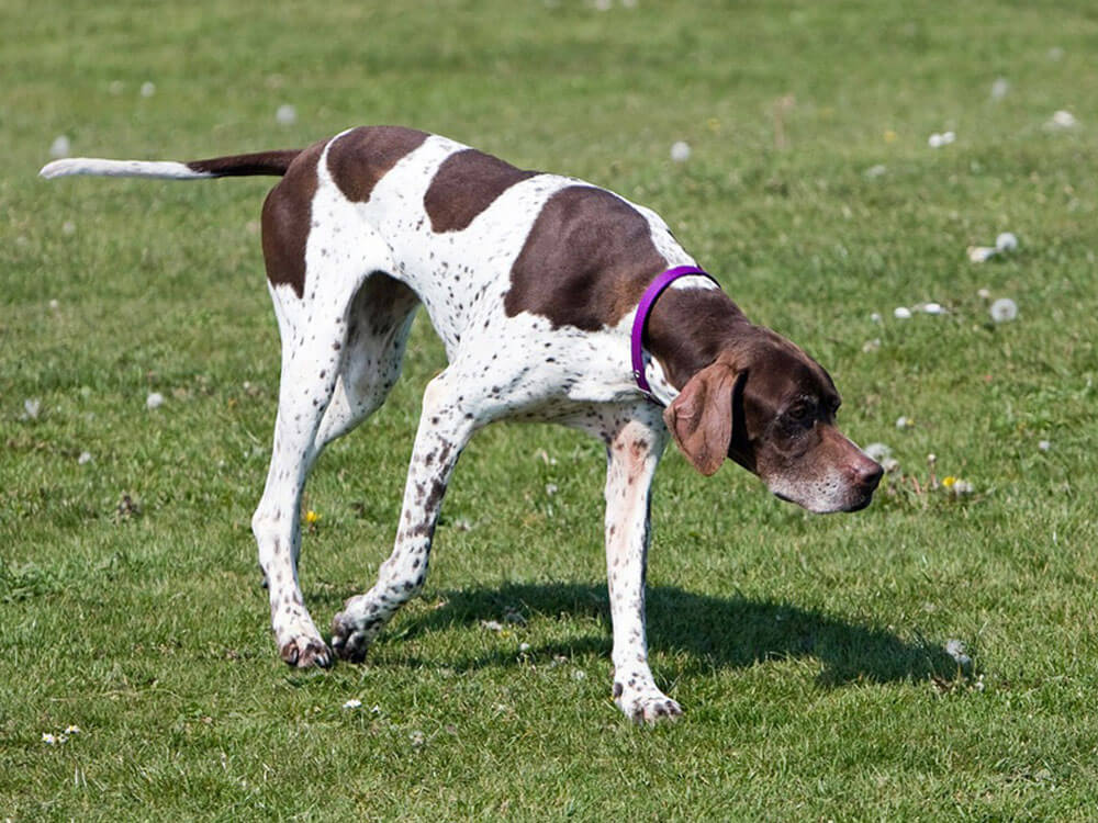 Pointer, one of the top gun dog breeds