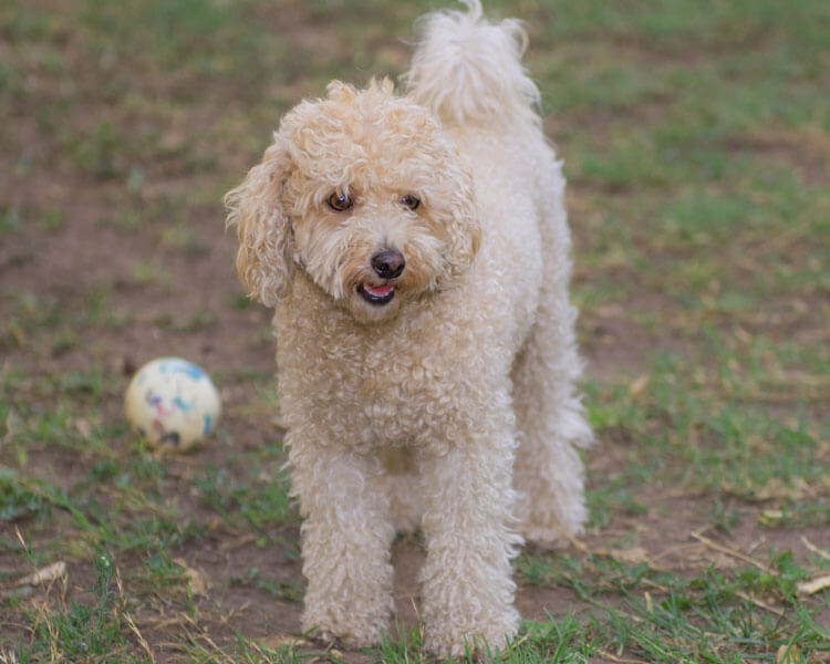poodle, one of the most popular hypoallergenic dog breed