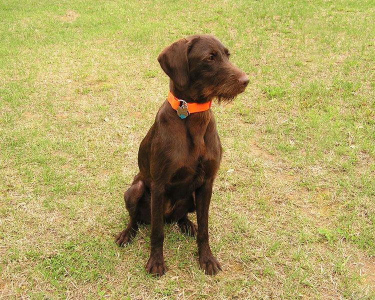 a pudelpointer sitting on the grass