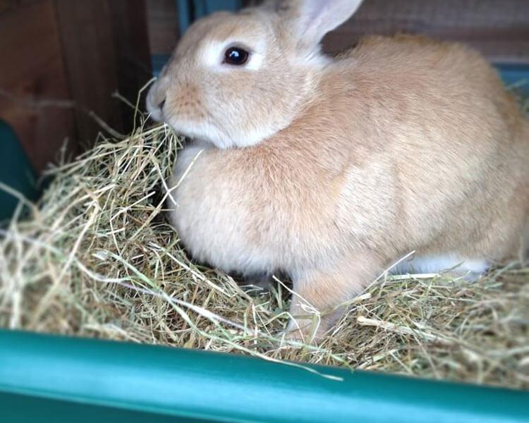 a rabbit eating hay