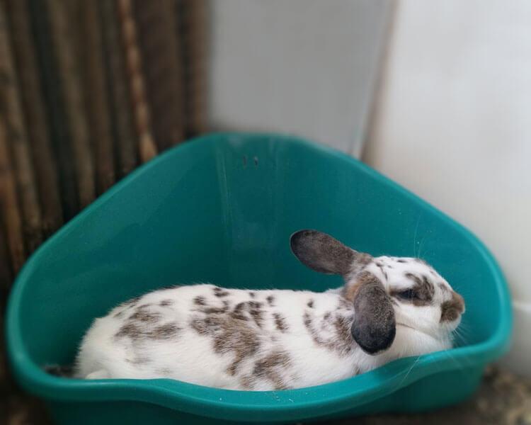 a rabbit inside a litter tray
