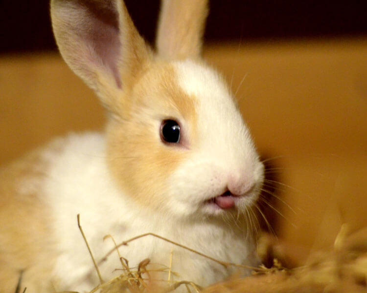 a rabbit chattering its teeth