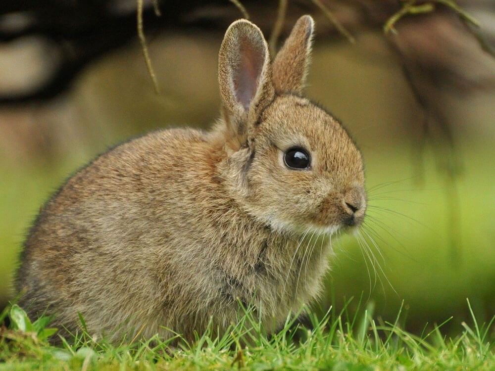 Rabbit Teeth Grinding and Other Vocalisations