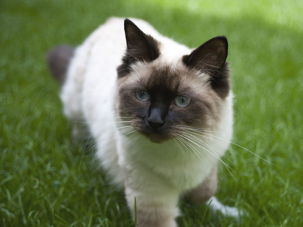 Ragdoll, one of the most affectionate cat breed