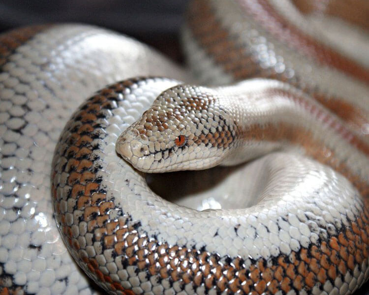 rosy boa, one of the best pet snakes