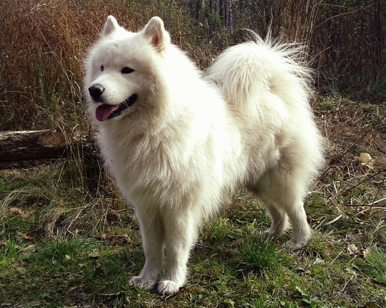an adorable samoyed dog standing on the grass