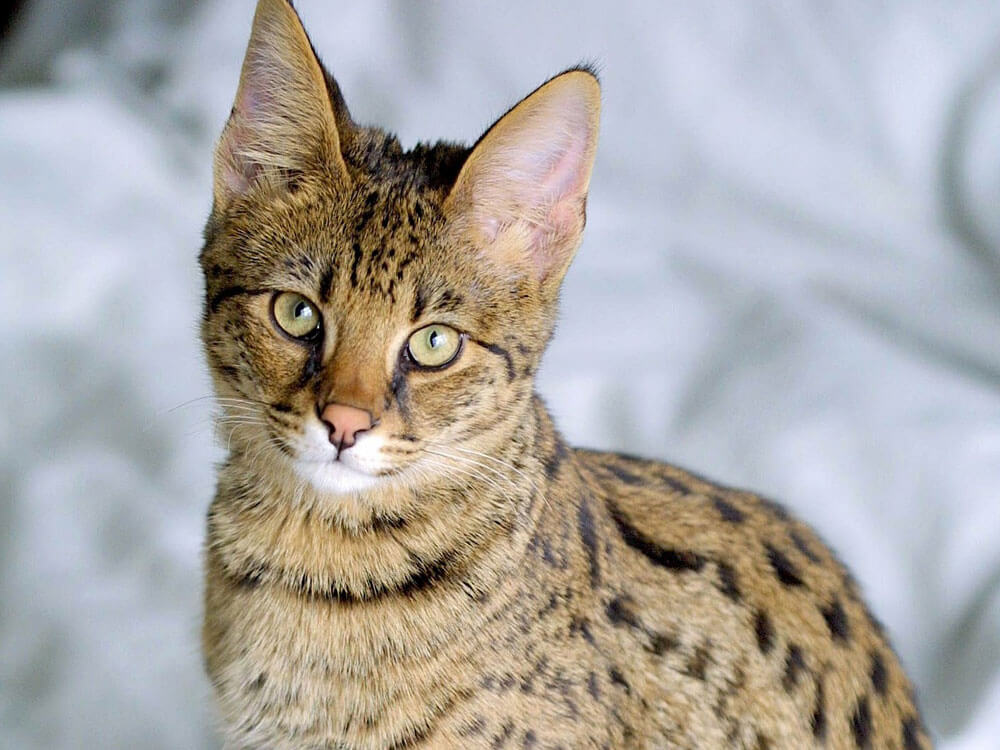 Savannah, one of the cat breed with wild roots