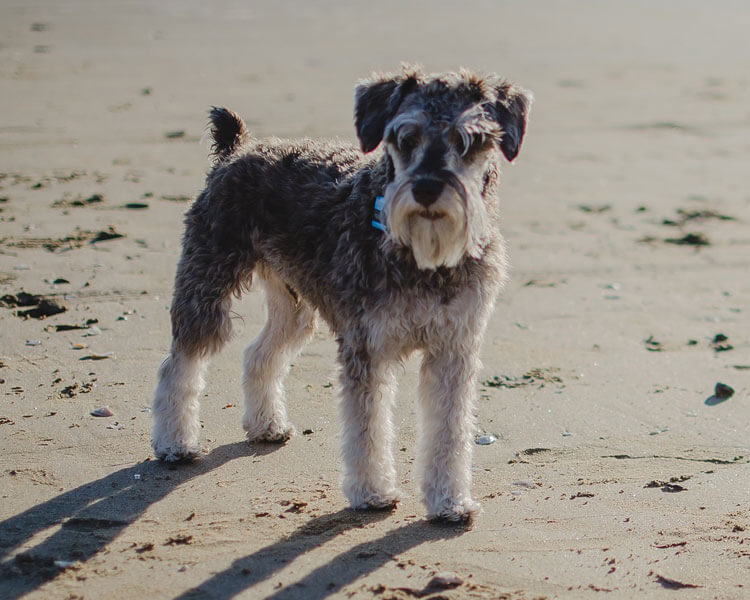 schnauzers, one of the most popular hypoallergenic dog breed