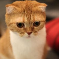 Health Issues in Scottish Fold