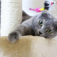 A Guide to a Happy Scottish Fold