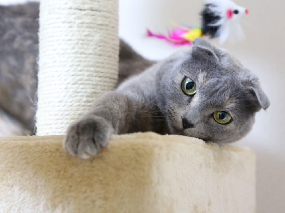 Training and Caring for a Scottish Fold