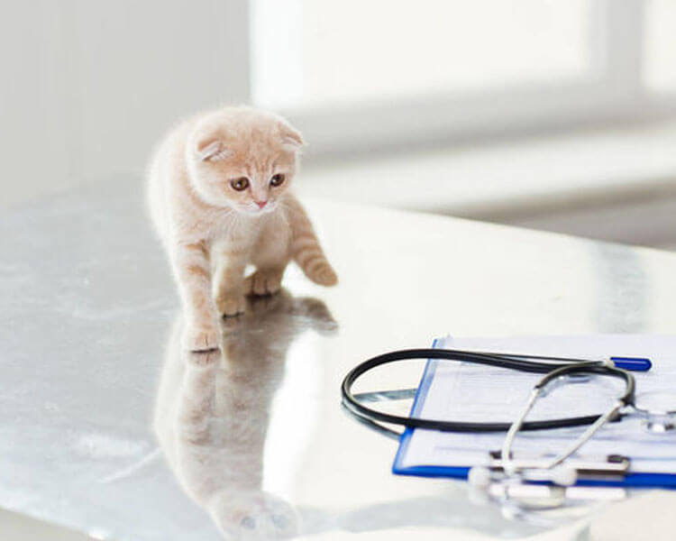 A Scottish fold cat with health issues at the vet clinic