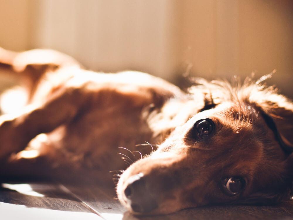 a sick miniature dachshund lying down on the floor