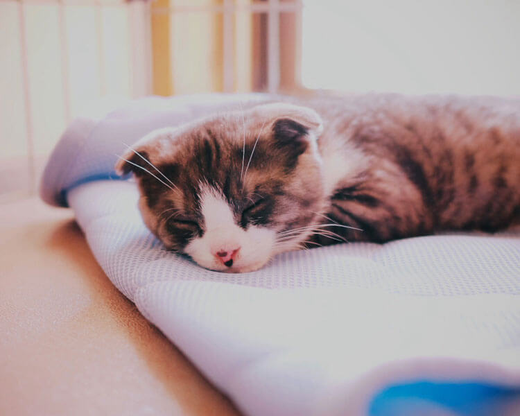 a sick Scottish Fold cat lying down in bed