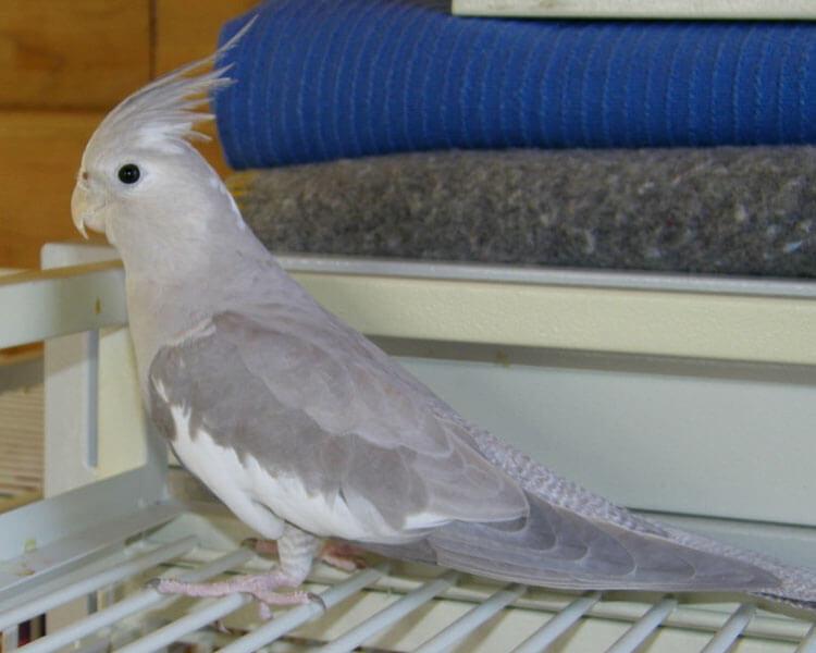 a silver cockatiel