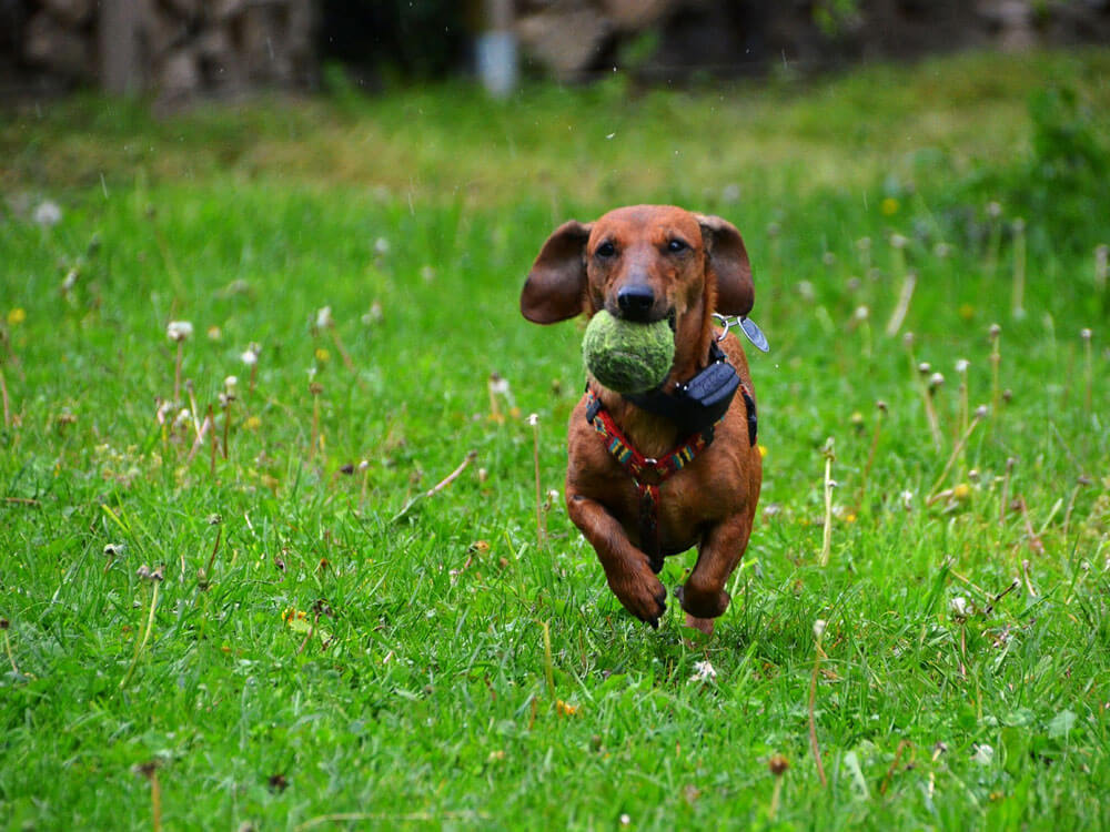 smooth haired miniature dachshund