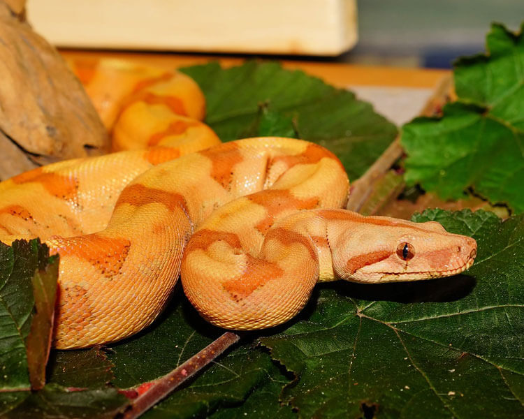 a snake with an attractive skin color