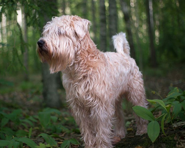 soft coated wheaten terrier, one of the most popular hypoallergenic dog breed