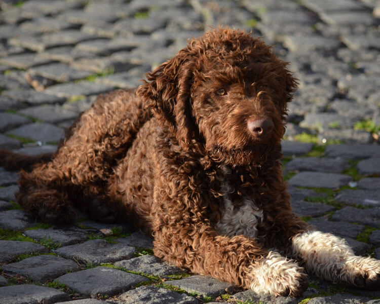 a spanish water dog lying on the road