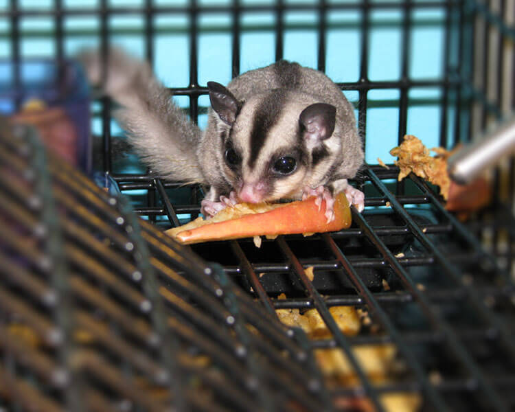 sugar glider eating inside the cage