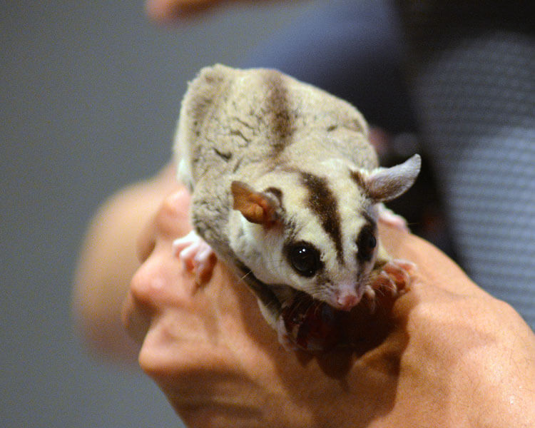a sugar glider in its owner's hand