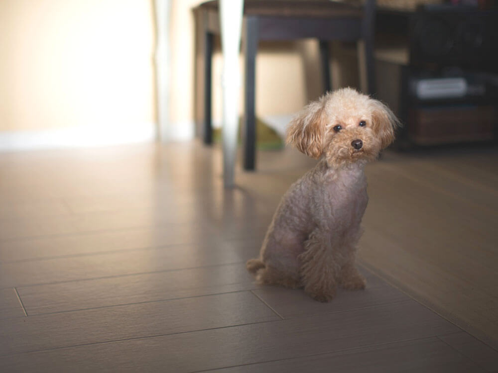 Health Issues in Toy Poodles