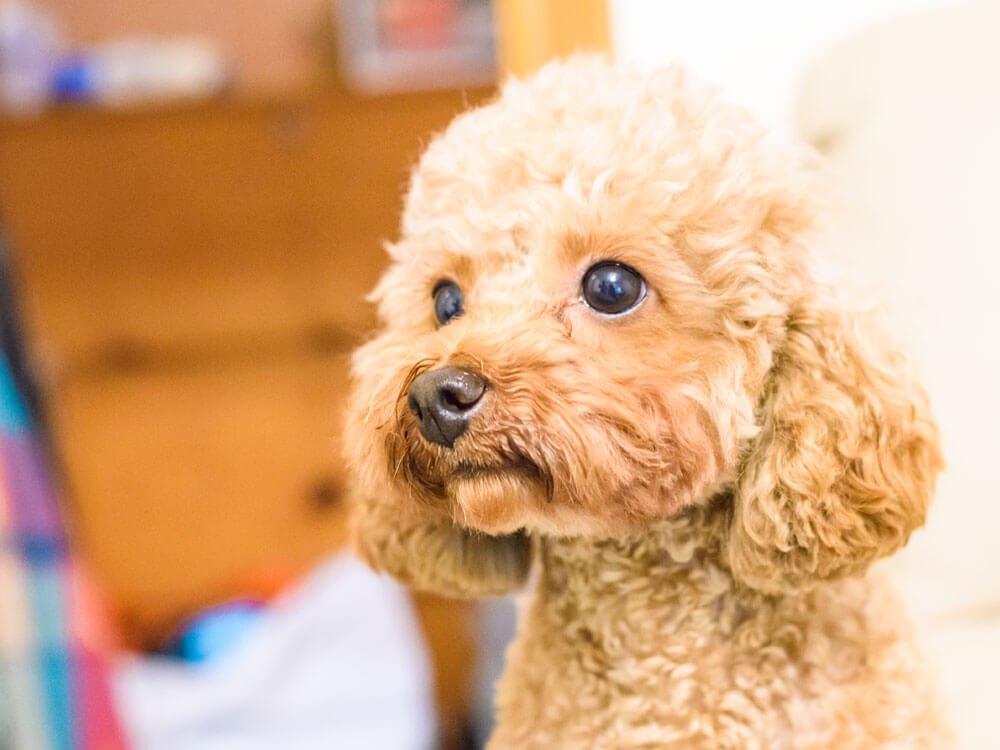 a toy poodle staring