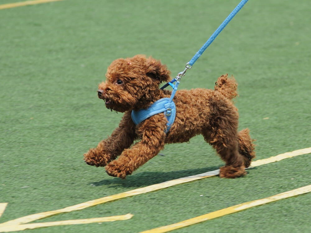 a toy poodle running on the field