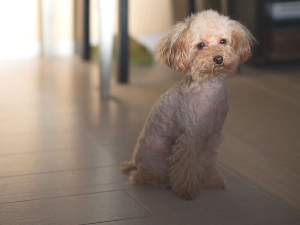 a sick toy poodle sitting on the floor