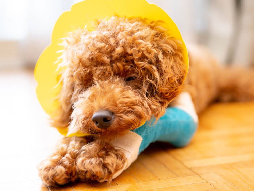 a sick toy poodle lying down on the floor