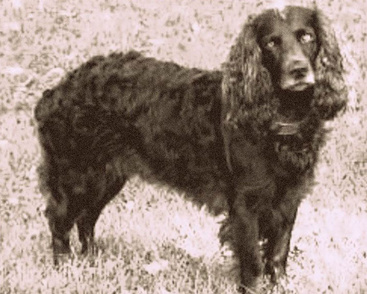 an old image of a tweed water spaniel dog in the grass