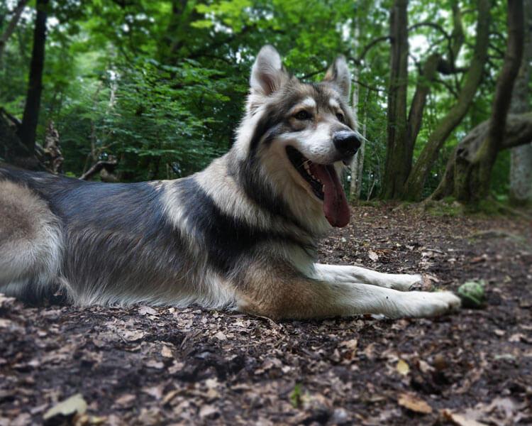 a utonagan dog lying down on the ground