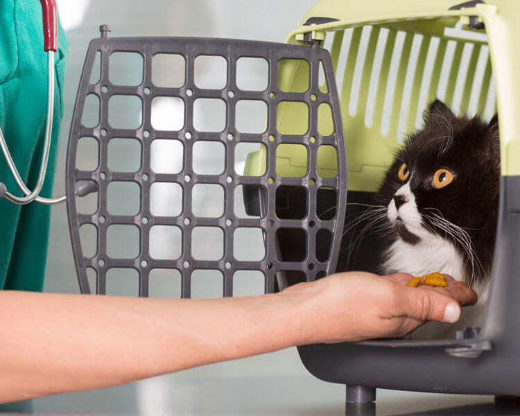 vet giving a treat to a cat before vaccination