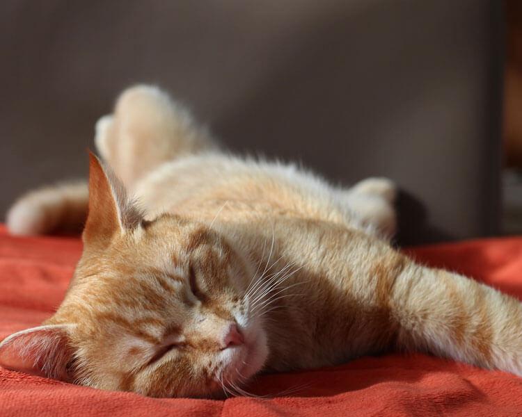 a weak cat due to pancreatitis