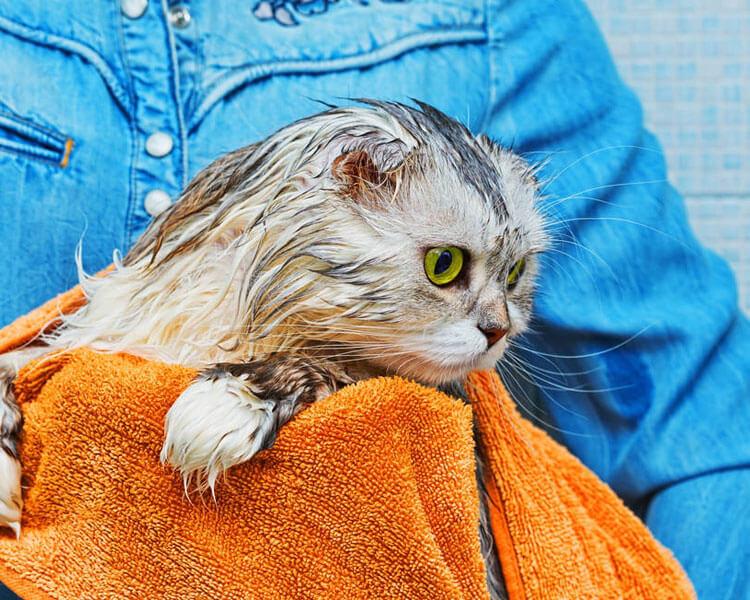 scottish fold cat after bath
