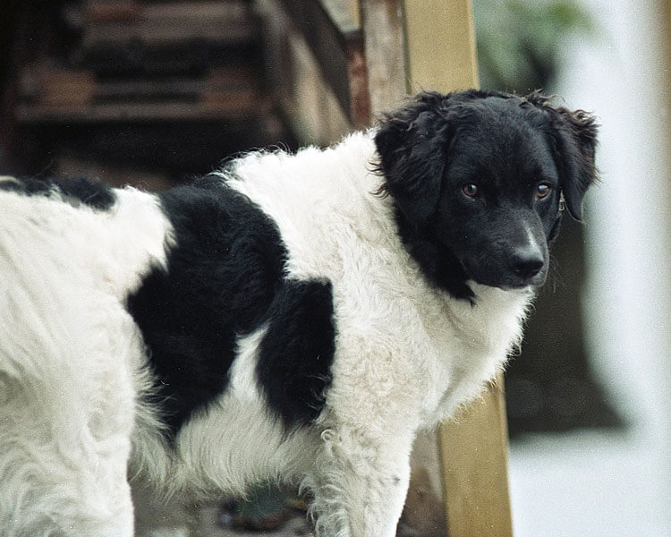 a black and white fluffy haired wetterhoun dog